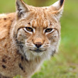 Young Lynx in spring — Stock Photo