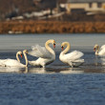 Swan family — Stock Photo #10445337