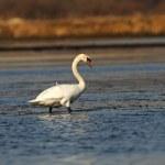 Swan family — Stock Photo #10445351