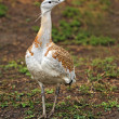 Great bustard, Devavanya, Hungary — Stock Photo