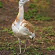 Stock Photo: Great bustard, Devavanya, Hungary