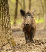 Porco selvagem — Fotografia Stock