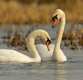 Swan is in the wild — Stock Photo