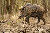 Wild Pig — Stock Photo