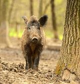 Cochon sauvage — Photo