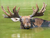 An elk is in a lake — Stock Photo