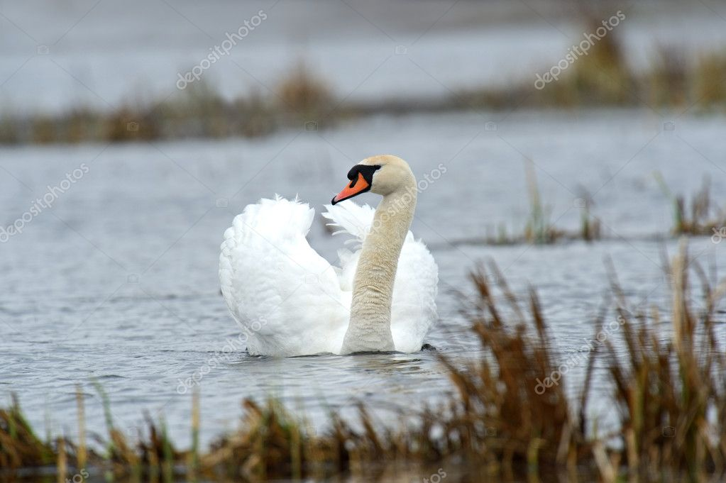A swan is in a natural habitat — Stock Photo #10444633