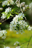 Flowering apple-tree — Stock Photo