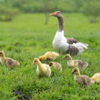 Geese with babies — Stock Photo