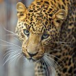 Leopard — Stock Photo #8397604