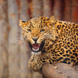 Leopard — Stock Photo #8397748