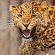 Leopard — Stock Photo #8397754