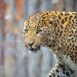 Leopard — Stock Photo #8397765