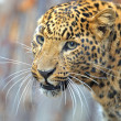 Leopard — Stock Photo #8397768