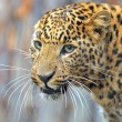 Leopard — Stock Photo #8397769
