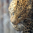 Leopard — Stock Photo #8397774