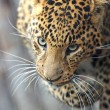 Leopard — Stock Photo #8397780