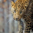 Leopard — Stock Photo #8397786