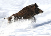 Running wild boar — Stock Photo