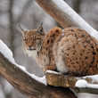 Lynx in winter — Stock Photo #8625547