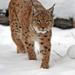 Lynx in winter — Foto Stock