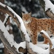 Lynx in winter — Stock Photo #8625631