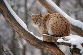 Beautiful wild lynx in winter — Stock Photo