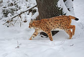 Lynx in winter — Stock Photo