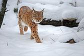 Lynx in winter — Стоковое фото
