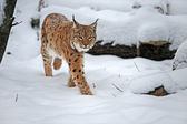 Lynx in winter — Stock Photo