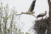 Two white storks — ストック写真
