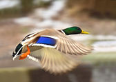 Wild-duck — Stock Photo