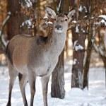 Deer among trees — Stock Photo