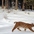 Beautiful wild lynx in winter - Stockfoto