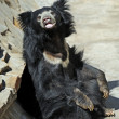 Sloth bear - Stock Photo