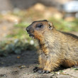 Portrait of Beaver — Stock Photo