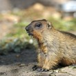Portrait of Beaver - Stock Photo