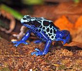 Frog with large eyes — Stock Photo
