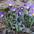 Pulsatilla patens. The first snowdrops. — Stock Photo