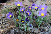 Pulsatilla patens. The first snowdrops. — Стоковое фото