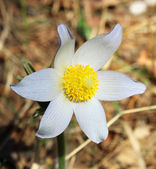Pulsatilla patens. White snowdrop. — Stock Photo