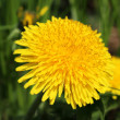 Stock Photo: Dandelion flower.