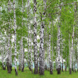 Birch Grove in the spring. — Stock Photo