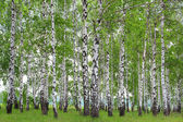 Birch Grove in the spring. — Stock Photo