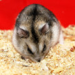 Jungar hamster. — Stock Photo
