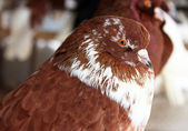 Purebred Pigeon brown color. — Stock Photo