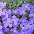 Violet flowers — Stock Photo