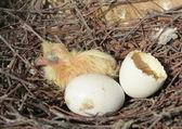 Dove nest — Stock Photo