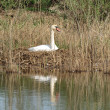 Swan in nest — Stock Photo #10415613