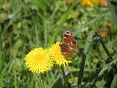 Red butterfly on sowthistle — Stock Photo